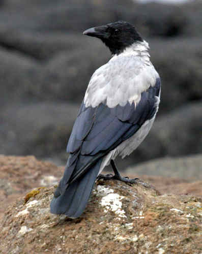 معلومات طائر hooded crow×~~
